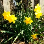 holy saturday daffodils
